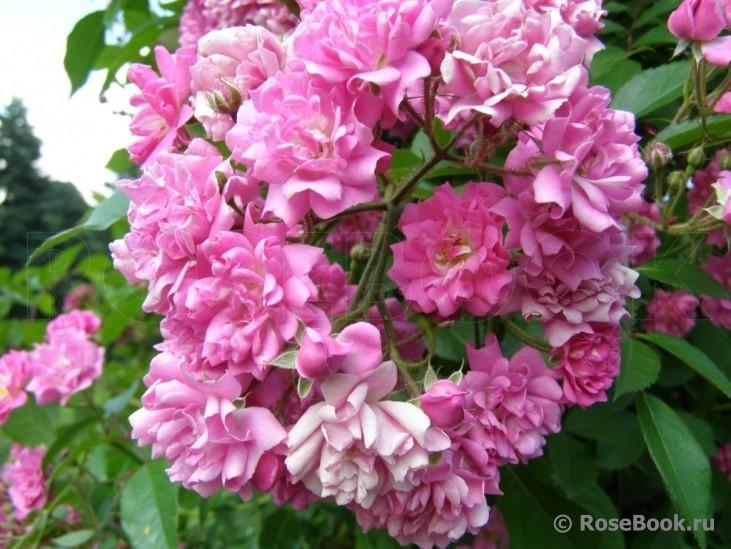 том, роза вартбург фото и описание счастливые